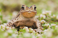 Gulf Coast Toad (Bufo valliceps), adult, Sinton, Corpus Christi, Coastal Bend, Texas, USA