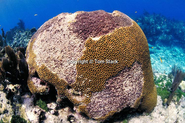 Coral Bleaching, Brain Coral, Florida Keys
