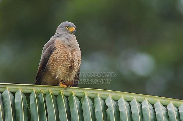 Roadside Hawk, Buteo magnirostris, adult perched on palm frond, Central Pacific Coast, Costa Rica, Central America