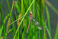 339600007 a wild teneral male shadow darner aeshna umbrosa perches on bogside water plants in central modoc county california