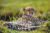 Cheetah resting in short green grass during the heat of the day in the Masai Mara Reserve, Kenya, Africa (photo by Wildlife Photographer Matt Considine)