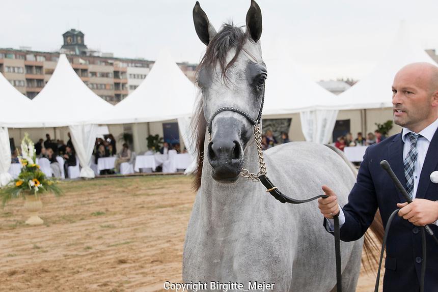 Arabian Horse and handler at Prague Intercup - International Arabian Horse Show, in the show ring.<br /> Horse: Fajir Albidayer