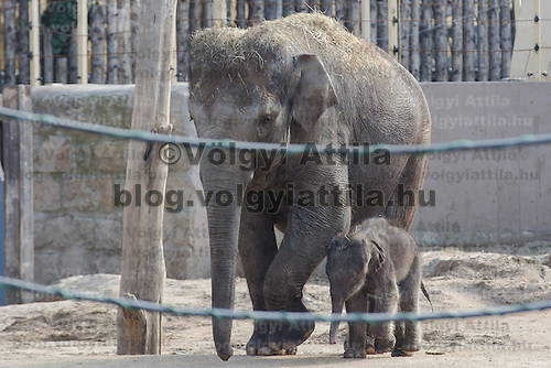 One week old captive born baby elephant is introduced to members of the media the first time after its mother Angele gave birth on 14th February in the City Zoo in Budapest, Hungary on February 21, 2013. ATTILA VOLGYI