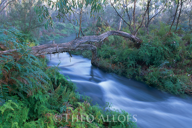 Australia, Victoria, Grampians National Park, MacKenzie Creek flowing through Eucalyptus forest, lined with ferns, in morning fog