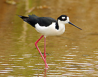 Adult male black-necked stilt
