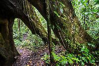 Large Kaypok tree in the Amazon Rainforest, Coca, Ecuador, South America