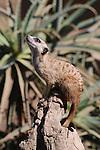 meerkat looking up for predator