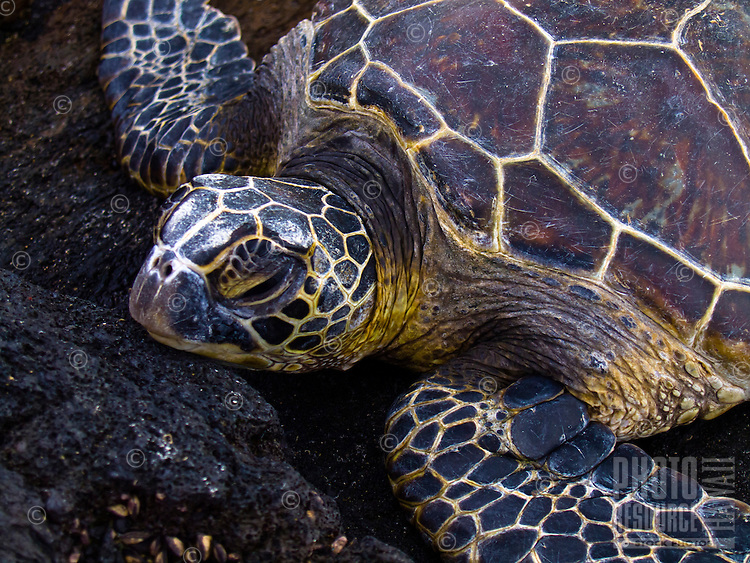 A green sea turtle rests his or her head on the lava rock along the shoreline of the Mahai'ula section of Kekaha Kai (Kona Coast) State Park, Big Island.