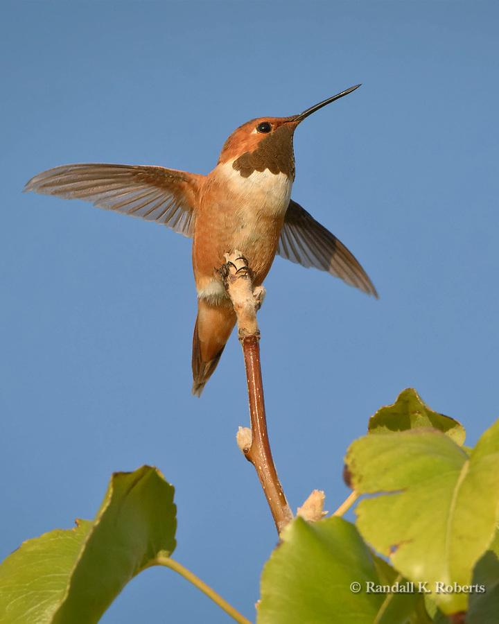 Rufous hummingbird, Rio Rancho, New Mexico