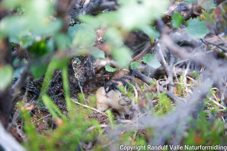 Lemen --- Norway lemming ---- Lemmus lemmus
