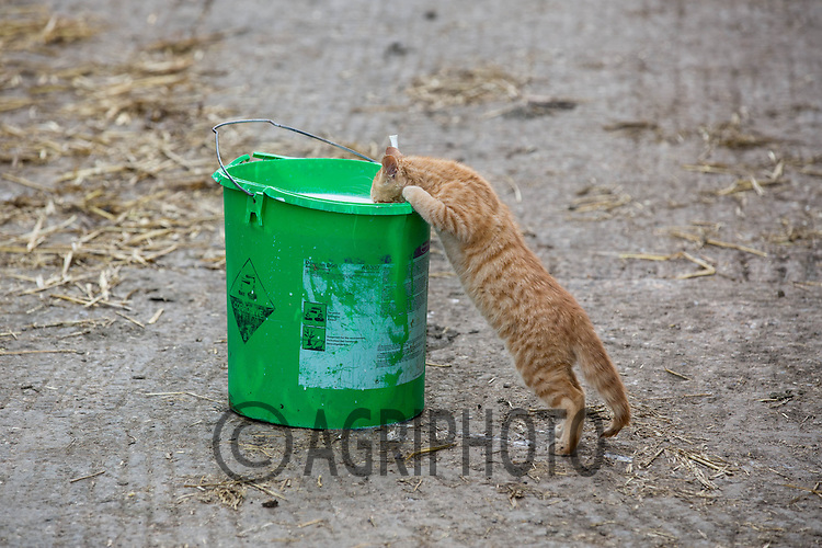 Farm cat drinking milk from a calf bucket<br /> Picture Tim Scrivener 07850 303986