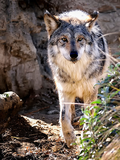 Mexican Wolf  near Palm Desert, California