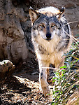 Mexican Wolf  near Palm Desert, California