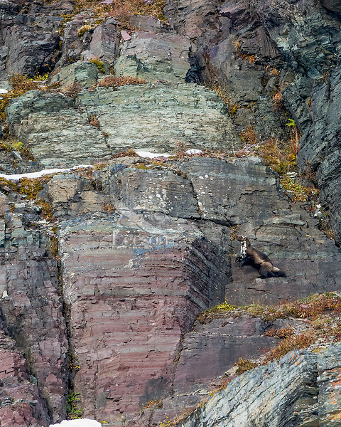 Wild wolverine (Gulo gulo) climbing rocky cliffs.  Northern Rocky Mountains in Glacier National Park, MT.  October.