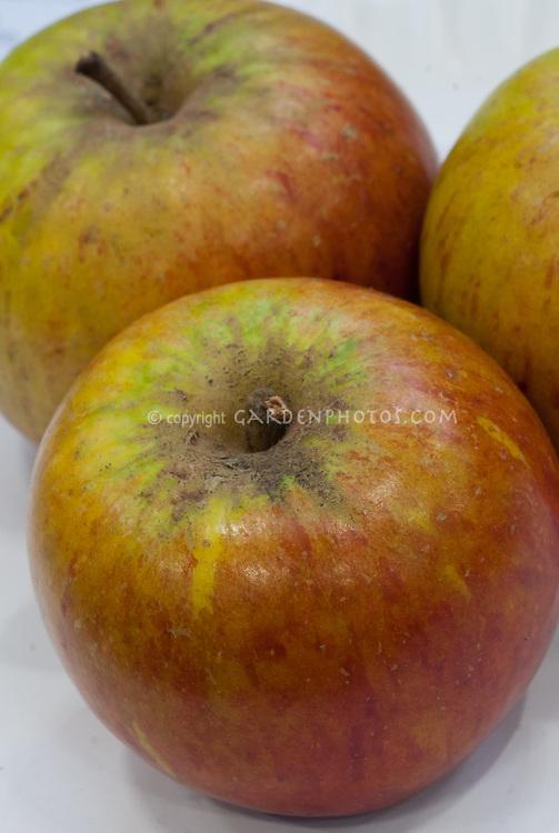 Malus Apple 'Cox's Orange Pippin' fruit, eating apple, dessert apple