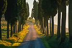 A rural road lined with cypress trees runs through farm land in Tuscany, Italy.