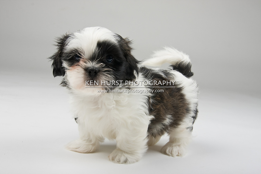 Brave and cute little Shih Tzu puppy standing his ground like a tough attack dog.