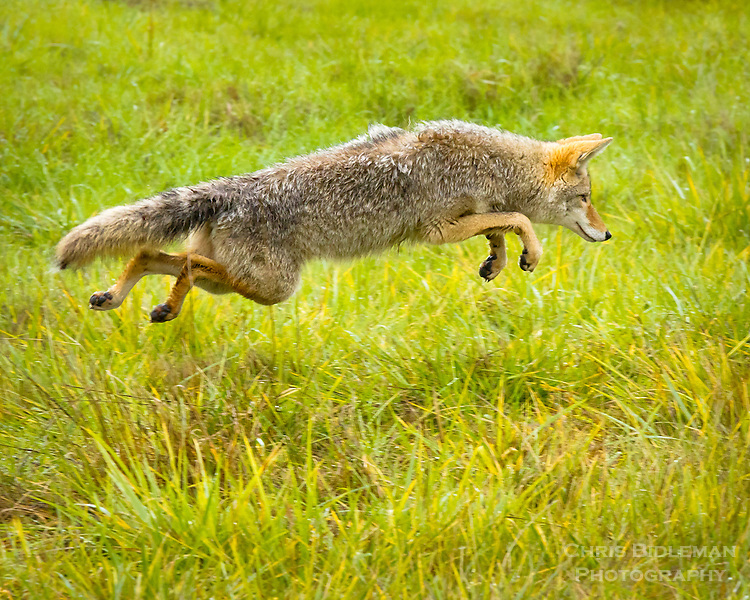 A coyote is leaping through the grass captured in midair in the Ridgefield National Wildlife Refuge