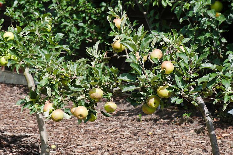 Stepover or horizontal cordon apple trees, mid August.