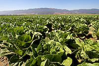 A lettuce field, Salinas Valley, CA