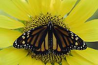 Monarch, Danaus plexippus, adult on sunflower, Willacy County, Rio Grande Valley, Texas, USA, May 2006