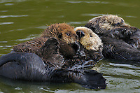 Sea Otter (Enhydra lutris) mother with pup resting eith another sea otter.