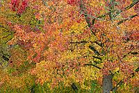 Sweet Gum tree in autumn foliage