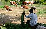 KENYA, County Kakamega, Bukura, village Eshibeye, milk cow farm, processing of fodder, Napier grass / KENIA, Dorf Eshibeye, Milchviehbetrieb von Fanice Khanali, haelt Milchkuehe, Mitarbeiter bei Futterzubereitung, Napiergras