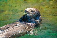 Digital composition Painted Sea Otter - sea otter, Enhydra lutris kenyoni, Vancouver, Canada, (c)
