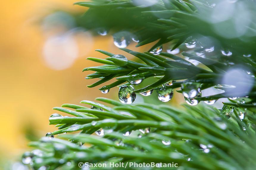 Raindrops on needle foliage of Cryptomeria japonica 'Globosa Nana' dwarf evergreen conifer in San Francisco Botanical Garden
