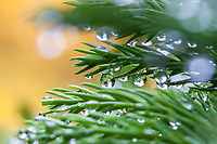 Raindrops on needle foliage of Cryptomeria japonica 'Globosa Nana' dwarf evergreen conifer in San Francisco Botanical Garden