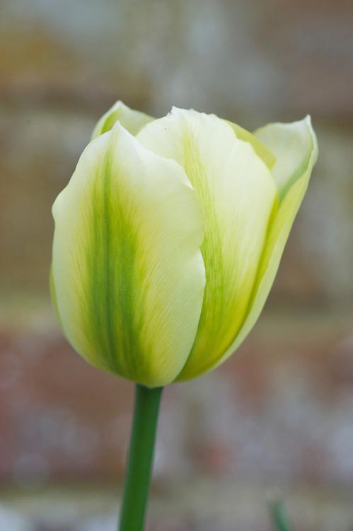 Tulipa 'Spring Green', mid April.