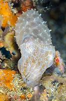 Broadclub cuttlefish, Sepia latimanus, eating a fish, Lembeh Strait, North Sulawesi, Indonesia, Pacific