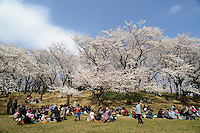 Cherry blossom viewing, Negishi Shinrin Koen, Yokohama, Japan, March 26, 2013.