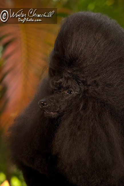 Poodle This dog is a Champion in 30 different countries Shopping cart has 3 Tabs:<br /> <br /> 1) Rights-Managed downloads for Commercial Use<br /> <br /> 2) Print sizes from wallet to 20x30<br /> <br /> 3) Merchandise items like T-shirts and refrigerator magnets