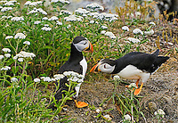 Gregarious non-breeding Atlantic Puffins (Fratercula arctica) 'hang out' during nesting season on grassy slopes and rock ledges near the many scattered burrows of the colony's breeding pairs, here along the coast of eastern Newfoundland, summer, Newfoundland and Labrador, Canada.  Puffins communicate much more with gestures than vocalizations.  We could speculate here that one puffin is bowing to acknowledge the already established higher status of the other... or simply just saying 'hello'.