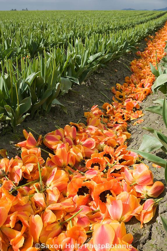 Deadheaded petals of orange tulips in rows of farm field after the Tulip Festival, Skagit Valley Washington