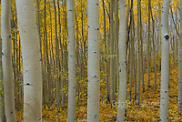 Aspen, Populus Tremula, Uncompahgre National Forest, Colorado