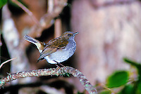 Native Hawaiian forest bird, the omao or Hawaiian thrush, (myadestes obscurus)