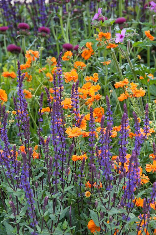 Orange Geum 'Princess Juliana' and purple Salvia nemerosa 'Caradonna', Morgan Stanley Healthy Cities Garden designed by Chris Beardshaw, RHS Chelsea Flower Show 2015.
