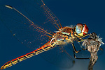 Vagrant Darter Dragonfly, Sympetrum  vulgatum, resting on stem against blue sky background, wings, compound eye, Provence.France....