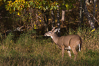 Young white-tailed buck - flehmen behavior
