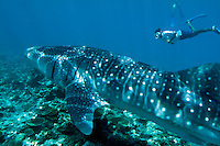 Man snorkling and observing a whale shark (rhincodon typus) swimming in Ari Atoll, Maldives.