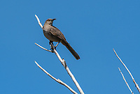 Curve-billed Thrasher, Toxostoma curvirostre, in the Riparian Preserve at Water Ranch, Gilbert, Arizona