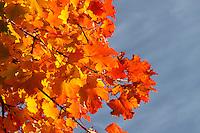 Spitz-Ahorn, Spitzahorn, Spitzblättriger Ahorn, Ahorn, Herbstlaub, Herbstfarben, Acer platanoides, Norway Maple, L'Érable plane, Érable de Norvège, Iseron, Plane, Main-découpée, Plaine, Faux Sycomore