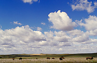 Buffalo herding in The Theodore Roosevelt National Park with a sky of huge puffy clouds. Watford City North Dakota USA Theodore Roosevelt National Park.
