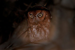 Screech Owl at night in King Fisher park, Staten Island. Owl landed in a Pin Oak tree which gives the glowing appearance.  Called by Cliff Hagen of the Protectors of Pine Oak Woods, the owl came as close as five feet away.