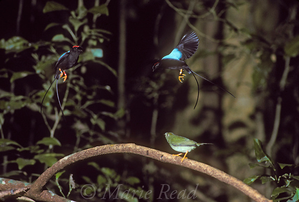 Long-tailed Manakins (Chiroxiphia linearis): 2 males (above) and female (on perch) during cooperativecourtship display, Monteverde, Costa Rica.<br /> Slide # B103-173