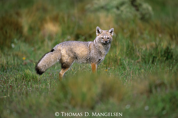 Gray Fox among the grasses of Punta Arenas in Torres Del Paine.