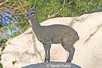 0604-1113  Klipspringer (Rock Jumper Antelope), Small Antelope on Boulders, Oreotragus oreotragus  © David Kuhn/Dwight Kuhn Photography